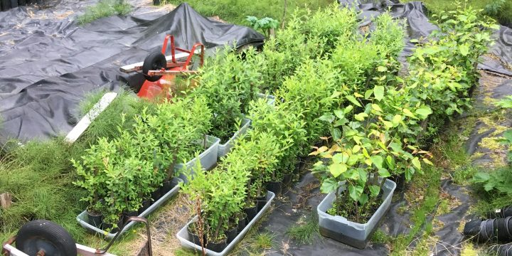Juneau Native Plant Nursery Supports Local Restoration Projects