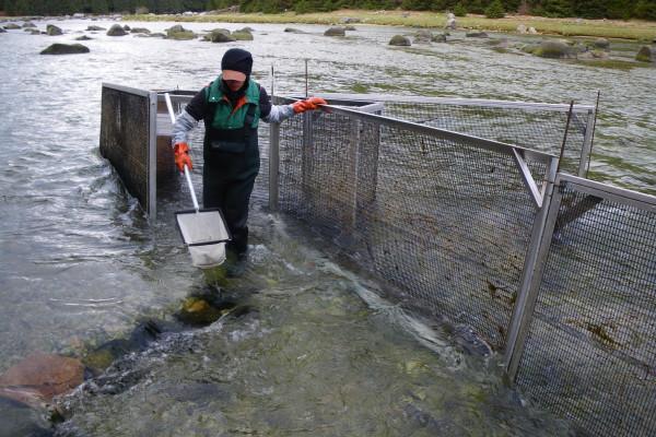 Modified fyke net trap fishing for eulachon