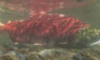 Klawock Lake Sockeye Salmon Action Plan
